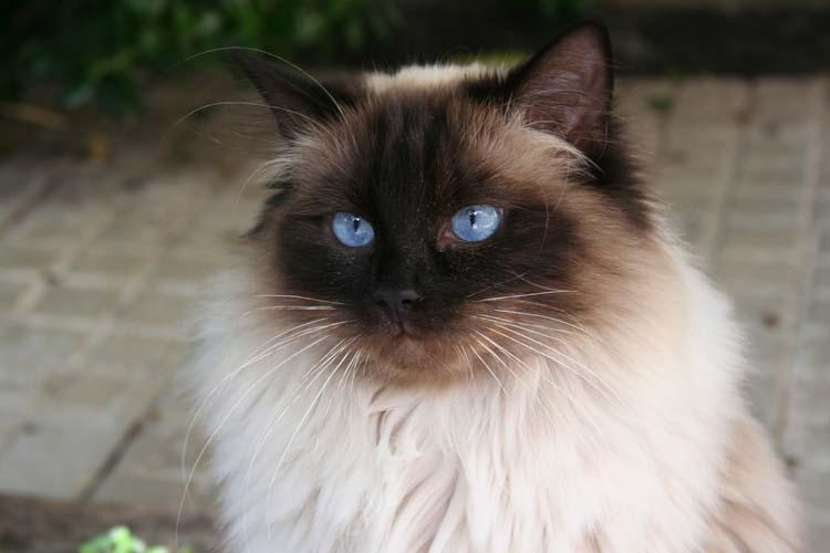 cehrelis-cat-walk-of-brugidolls2
