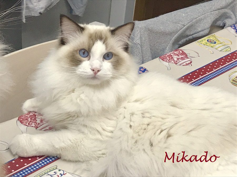 Brugidolls Mikado